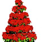poinsettias tree