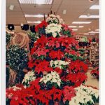 poinsettias display