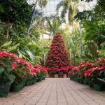poinsettia displays