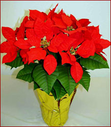 red poinsettias silk
