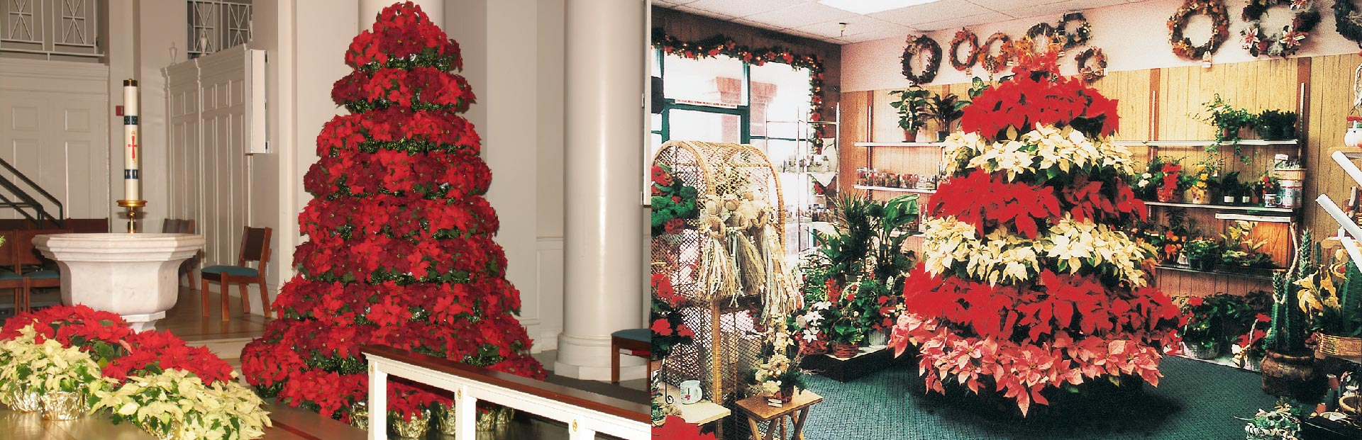 decorative poinsettia displays