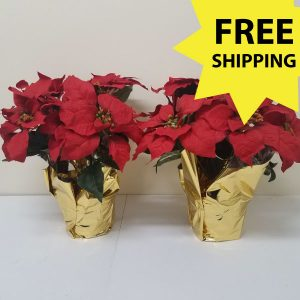 2 red poinsettias special